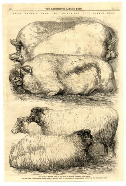 1865 Print PRIZE PIGS & SHEEP SMITHFIELD SHOW Wether Sheep or Oxfordshire Downs